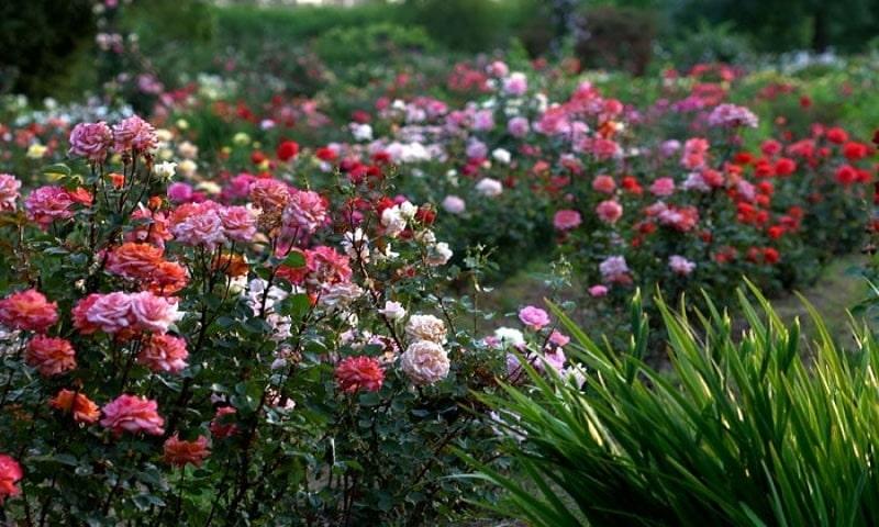 Vườn Hồng ở Sydney