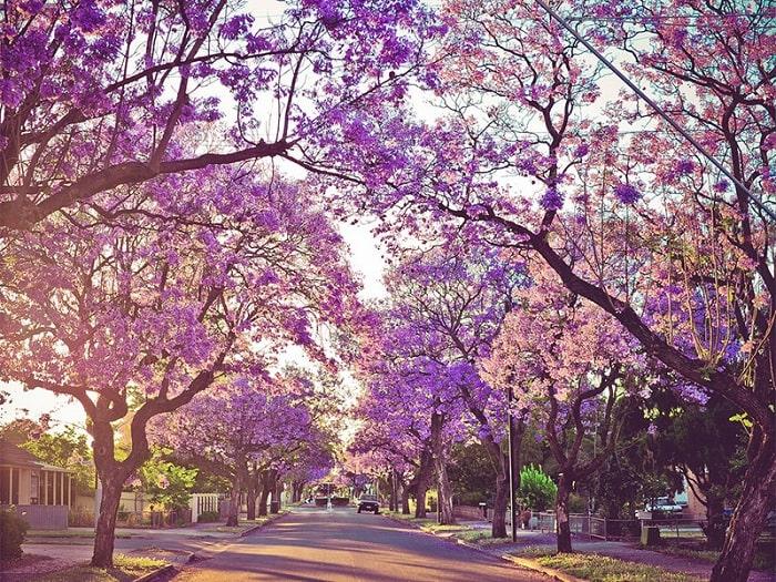 con đường hoa Jacaranda