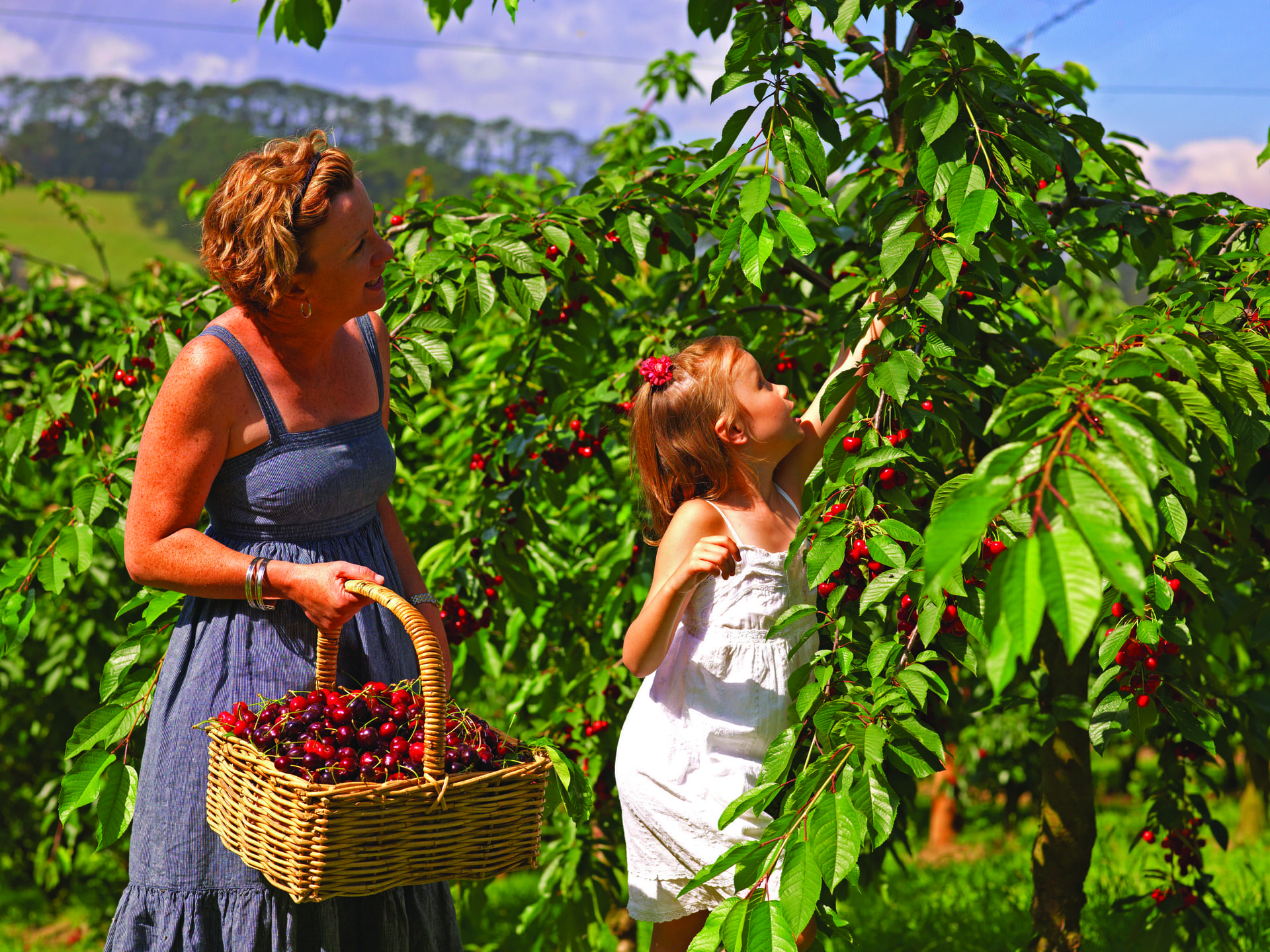 Hái cherry ở Vườn Trái Cây Bacchus Marsh